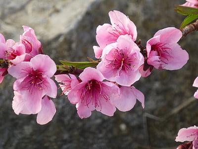 Cvetoč mandelj